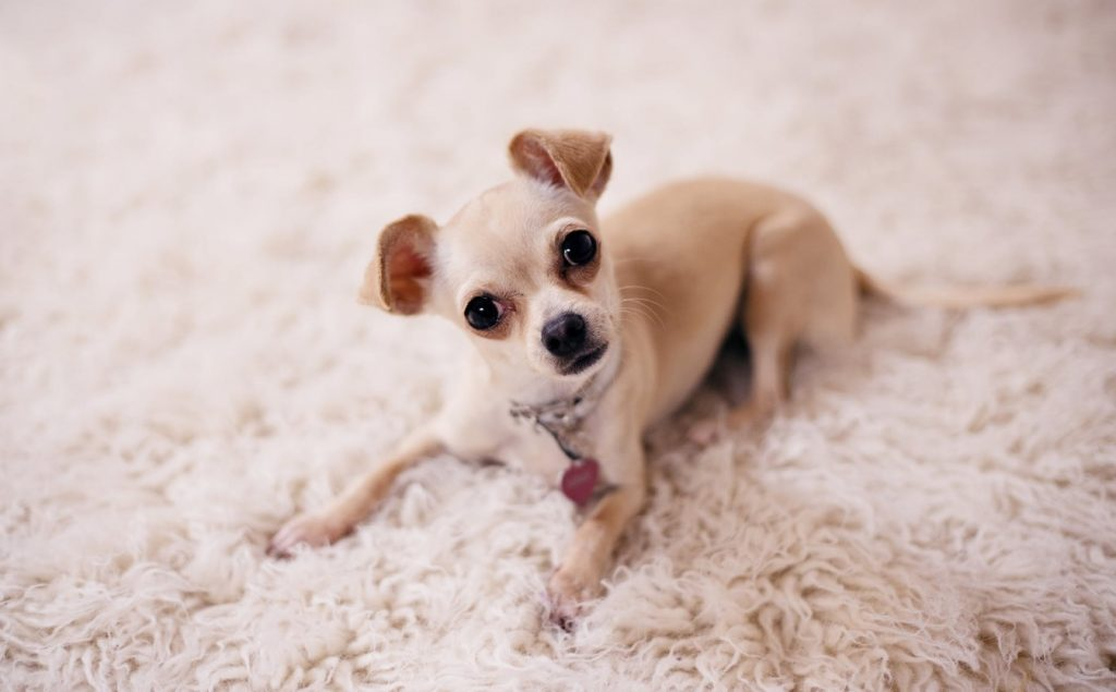 how to maintain the carpets clean with pets