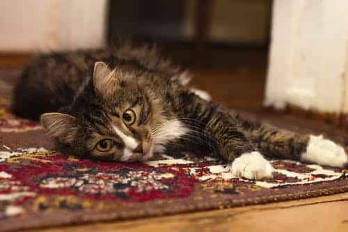 remove pets stains on carpet